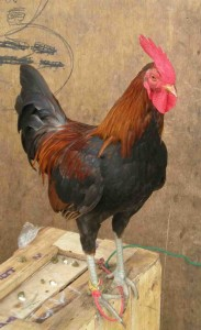rooster1 copy